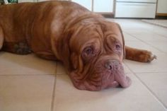 Tank is an adoptable Dogue De Bordeaux Dog in Minneapolis, MN. Tank is a 170 pound hunk of love! This sweet, mellow boy is looking for a new home that can give him appropriate care for his allergies. ...