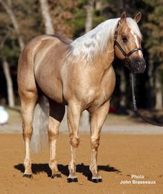 Quarter Horse stallion Sharp Dressed Shiner