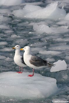 Two Glaucous Gulls on ice from Aialik Glacier, Kenai Fjords National Park, Alaska
