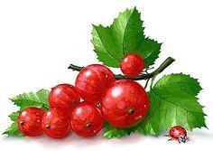 Красная смородина - Схемы вышивки - Miss_Ikss - Авторы - Портал «Вышивка крестом»