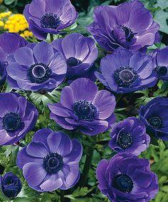 Windflowers Purple Haze Bulb - Set of 100 #zulily #zulilyfinds