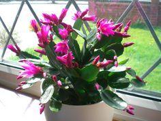 Rhipsalidopsis -cactus de pâques