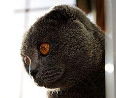 Шотландская вислоухая кошка — Википедия