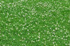 Unkraut im Rasen bekämpfen 10 besten Tipps