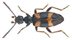 Anthicus laeviceps