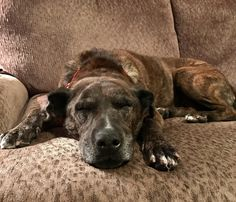 Within an hour of bringing this sweet 9 yr old pit bull mix home from the local adoption center she was happily dozing. Old dogs need love too! http://ift.tt/2mkMsCU