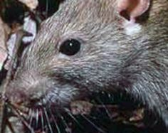 """7 gross facts about processed food-- """"The FDA allows four rodent hairs per 100 grams in processed food."""""""