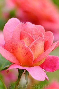 "Rosa ""Christopher Marlowe"" - Rose"