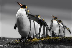 Pinguins by Urs Spörri on 500px