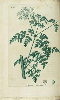 Conium maculatum, Hemlock, pp. Plate XI-124 ff.
