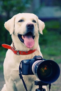 Say CHEESE! Cute lab puppy photo!  Pet Photography ♥