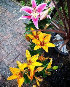 My Lilly's are coming out! Got 52 in total will be so colourful! Coming Out, Nature Photography, Gardening, Colour, Twitter, Flowers, Plants, Photos, Beautiful