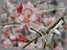 cherry trees in ice - Bing Images