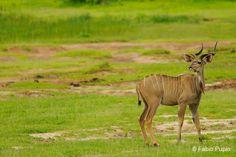 The greater kudu (Tragelaphus strepsiceros).