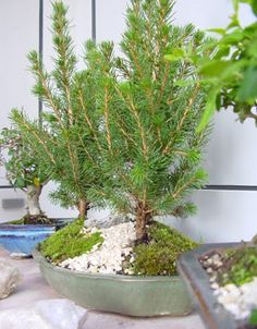 How to care for your Ficus Bonsai Bonsai Art, Bonsai Plants, Best Pictures Ever, Cool Pictures, Ficus, Home Remedies, Orchids, Health Care, Geisha