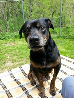 ***SUPER SUPER URGENT!!!*** - SENIOR ALERT!!! - PLEASE SAVE ROCKY!! - EU DATE: 7/30/2015 -- Rocky Breed:Rottweiler Age: Senior Gender: Male Size: Large Special needs: altered, Special needs: hasShots, Shelter Information: Wetzel County Animal Shelter RR 2 Box 57  New Martinsville, WV Shelter dog ID: Rocky Contacts: Phone: 304-904-2477 Name: Melissa Dinger email: moodusbass@gmail.com About Rocky: Rocky is an ELDERLY dog.. reported to be approx 15 yo. Lost his owner due to extenuating…