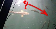 Snook Go Crazy For This Lure & Scent Combo (Caught On Film)
