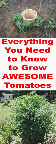 The ultimate guide to growing amazing tomatoes! Growing Tomatoes, Green Tomatoes, Growing Vegetables, Tomato Garden, Farm Gardens, Outdoor Gardens, Garden Yard Ideas, Garden Projects, Lawn And Garden