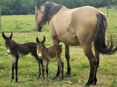 twin mules, quite rare--and their horse mother