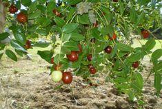 Τζιτζιφιά το δέντρο γιατρός Trees To Plant, Allrecipes, Home Remedies, Greece, Seeds, Vegetables, Health, Nature, Plants