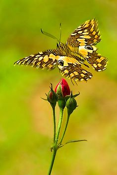 ✿ Buds and Butterfly ~ by Mukesh Srivastava ✿