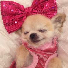 Tiny Puppies, Cute Puppies, Cute Dogs, Chihuahua Puppies, Chihuahuas, Cute Love Memes, Baby Animals, Smiling Animals, Cute Dog Pictures