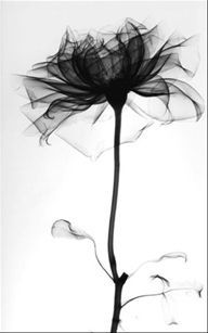 x-ray image of a rose by albert koetsier  Wouldnt this make a beautiful tattoo????