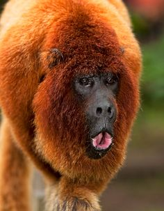 El mono aullador rojo o aullador colorado es una especie de primate platirrino del género Alouatta que habita al norte de América del Sur en Colombia, Perú, Ecuador, Venezuela y Brasil y al extremo noroeste de Bolivia.