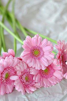 Pink Gerberas via simply-beautiful-world:  ❥‿↗⁀simply-beautiful-world