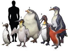 1. Pinguinus impennis 2. Waimanu manneringi 3. Pachydyptes ponderosus 4. Icadyptes salasi 5. Inkayacu paracasensis 6. Anthropornis nordenskjoeldi