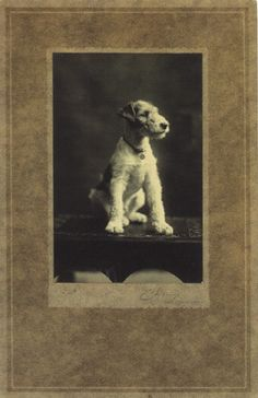 . Clever Dog, Vintage Fox, Wire Fox Terrier, Vintage Photos, Vintage Postcards, Old Dogs, Love Pet, Dog Photos, Beautiful Dogs