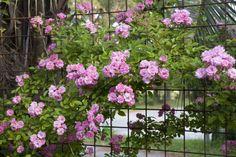 Rosa 'Peggy Martin', 2011,http://www.antiqueroseemporium.com/roses/1031/peggy-martin