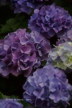 Lovely Deep Blues of Nantucket Hydrangeas