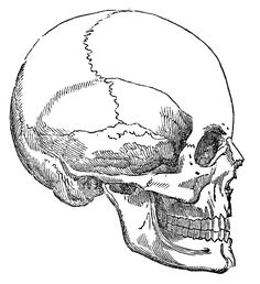 Vintage Graphic Image - Skull - Halloween - The Graphics Fairy