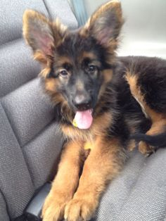 Golden Retriever And Shepard Mix My Zoo Pinterest Dogs