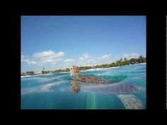 Awesome snorkeling in Akumal Bay, Quintana Roo, Mexico. Swam with turtles, needle fish, barracuda. Dream Vacations, Vacation Trips, Akumal Bay, Best Cinematography, Quintana Roo, Travel Videos, Mexico Travel, Tropical Fish, Sea Creatures