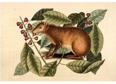 Animal - Woodland -  Java Hare - Catesby