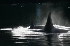 Orca Killer Whales fishing for adventure http://www.wildearth-adventures.com