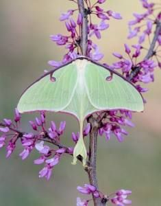Luna moth -- Happy National Moth Week! (National Moth Week is celebrated every year during the last full week of July)