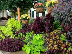 Wine & Lime Settlers Ridge display, beginning of October. Mums swapped for hanging calis. Sweet potatoes and coleus have gone crazy. Click o...