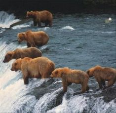 Bears fishing in Alaska - reminds me of the pictures of the fisherman lined up along the river beds