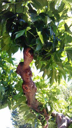 Moerbei boom, deze zorgt voor heerlijke vruchtjes en schaduw in Flayosc.