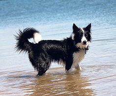 Our photo of the week Border #Collie