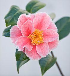 Trehane Nursery, Dorset: Close Up Of The Pink Flower Of Camellia Japonica Oo-la-la