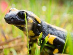 Fire salamander by Oliver Schuler on 500px