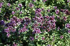 "Origanum laevigatum "" Herrenhausen "" - oregáno, dobromysl , dekorativní Korn, Plants, Plant, Planets"