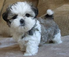 30 Great Names For Shih Tzu Dogs [PICTURES The Shih Tzu was bred as royal lap dog, but they're happy to treat you like royalty, too! Here are a few great names for Shih Tzu dogs if you happen to be bringing home a new friend from the shelter. Shitzu Puppies, Tiny Puppies, Teacup Puppies, Cute Dogs And Puppies, Doggies, Teacup Shih Tzu, Teddy Bear Puppies, Teacup Chihuahua, Retriever Puppies
