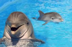 Collection of Bottlenose Dolphin Wallpaper on HDWallpapers Pictures Of Dolphins Wallpapers Wallpapers) Dolphin Hd, Bottlenose Dolphin, Dolphin Quotes, Big Animals, Animals And Pets, Beautiful Creatures, Animals Beautiful, The Ocean, Whales