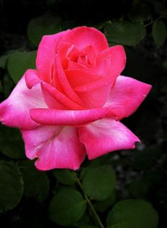 Beautiful Rose Flowers, Love Rose, Garden Plants, Garden Roses, Special Flowers, Natural World, Pink Roses, Pictures, Garden