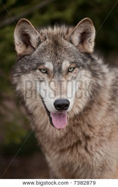 Timber Wolf (Canis lupus) Open Mouth Poster